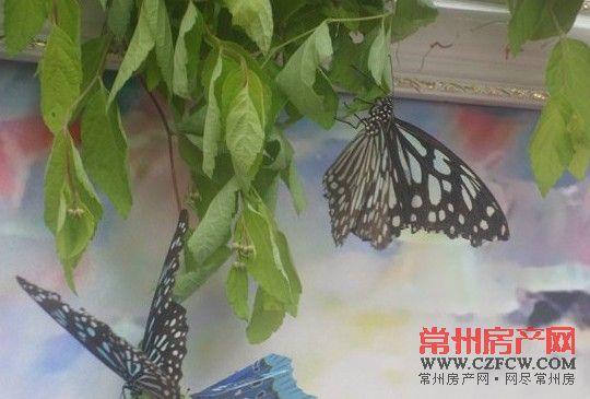 长春 蝴蝶/6万元买蝴蝶、一天两场大活动